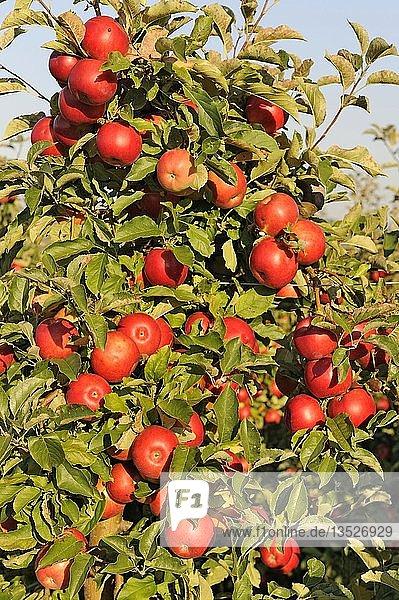 Rote  reife Äpfel hängen an einem Apfelbaum in einer Plantage  Bodman  Bodenseekreis  Baden-Württemberg  Deutschland  Europa