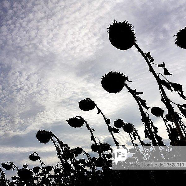 Silhouette  vertrocknetes Sonnenblumenfeld im Gegenlicht  Auvergne  Frankreich  Europa