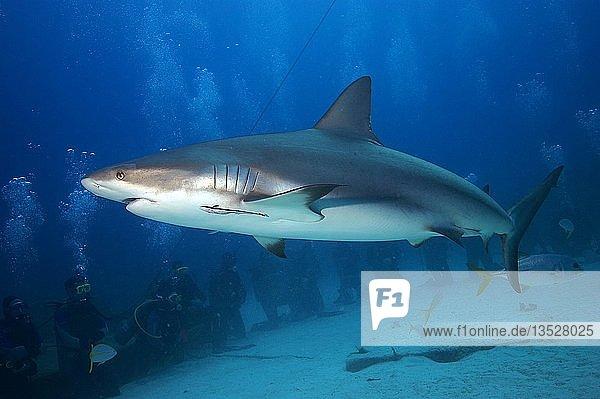 Gruppe von Tauchern beobacht einen Karibischen Riffhai (Carcharhinus perezi)  Grand Bahama  Bahamas  Mittelamerika