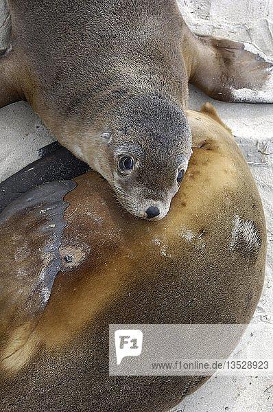 Australischer Seelöwe  Neophoca cinerea  am Strand von Kangaroo Island  Südaustralien Australien