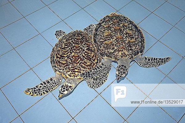 Zwei Echte Karettschildkröten (Eretmochelys imbricata)  ca. 2 Jahre  in einer Aufzuchtstation  Bali  Indonesien  Asien
