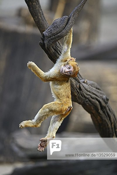 Berberaffe  Magot (Macaca sylvanus)  Jungtier beim Spielen  Nordafrika