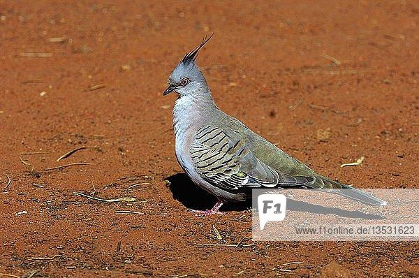Spitzschopftaube  Ocyphaps lophotes  Northern Territory  Australien  Ozeanien