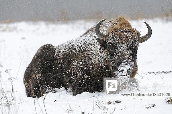 Europäischer Wisent (Bison bonasus)  bei heftigem Schneetreiben