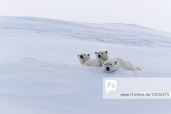 Eisbären (Ursus maritimus)  Muttertier und zwei Jungtiere  15 Monate  auf Schnee ruhend  Unorganized Baffin  Baffin Island  Nunavut  Kanada  Nordamerika