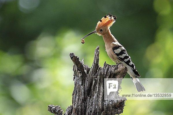 Wiedehopf (Upupa epops) auf einen Baumstamm sitzend mit Beute im Schnabel  Kiskunság Nationalpark  Ungarn  Europa
