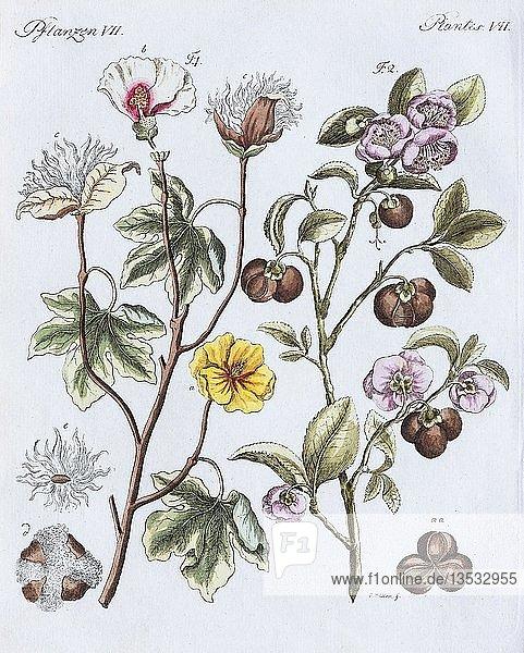 Baumwollpflanze (Gossypium)  handkolorierter Kupferstich aus Friedrich Justin Bertuch Bilderbuch für Kinder  1801  Weimar  Deutschland  Europa