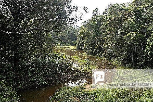 Primärregenwald im Andasibe-Mantadia Nationalpark  Andasibe Nationalpark  Madagaskar  Afrika