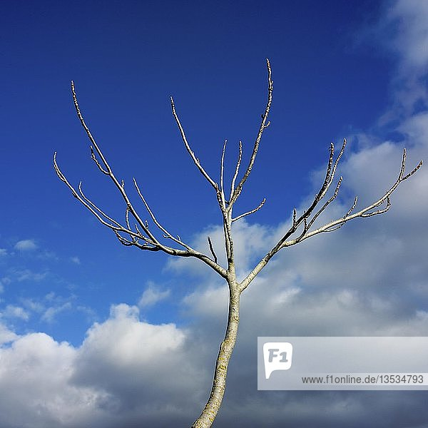 Tree with buds under blue sky with clouds