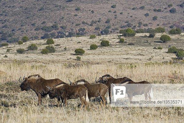 Weißschwanzgnus (Connochaetes gnou)  kleine Herde  auf offenem Grasland stehend  Mountain Zebra Nationalpark  Ostkap  Südafrika
