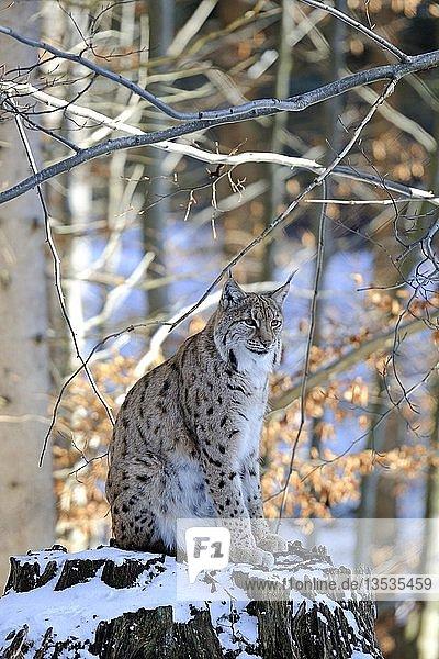 Karpatenluchs (Lynx lynx carpathicus)  sitzt auf seinem Aussichtsstamm im Winter