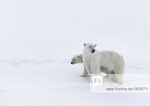 Eisbären (Ursus maritimus)  Muttertier und ein einjähriges  15 Monate  Jungtier auf Schnee  Unorganized Baffin  Baffin Island  Nunavut  Kanada  Nordamerika