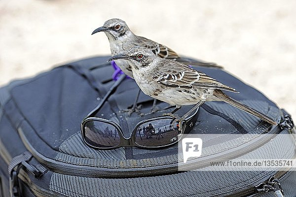 Hood Mockingbirds (Nesomimus parvulus macdonaldi)  subspecies from Espanola Island  interested in sunglasses on a photographer's backpack  Galapagos Islands  UNESCO World Natural Heritage Site  Ecuador  South America