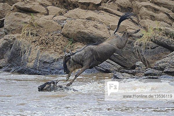 Streifengnus  Weißbartgnus (Connochaetes taurinus)  Gnus  springen in Mara Fluss  Gnu-Migration  Masai Mara  Kenia  Afrika