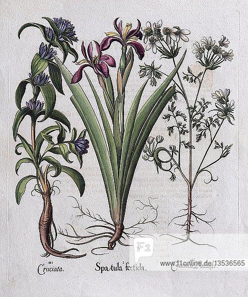 Stinkende Schwertlilie (Spatula foetida)  Handkolorierter Kupferstich von Basilius Besler  aus Hortus Eystettensis  1613  Deutschland  Europa