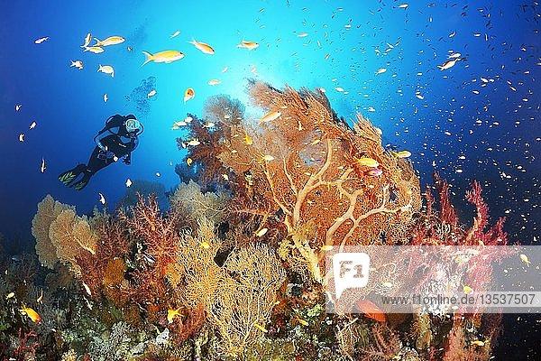 Taucher betrachtet Riffdach mit Gruppe Gorgonien (Annella mollis) Klunzingers Weichkorallen (Dendronephthya klunzingeri) und Fahnenbarsche (Pseudanthias sp.)  Rotes Meer  Ägypten  Afrika