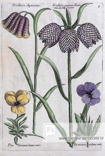Schachblume (Fritillaria)  Handkolorierter Kupferstich  Johann Theodor de Bry  aus Florilegium Novum  1611  Deutschland  Europa
