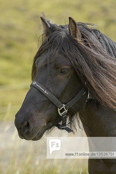 Schwarzes Islandpferd (Equus islandicus)  Tierportrait  Norðurland vestra  Island  Europa