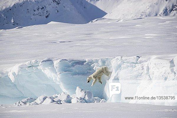 Erwachsene Frau Eisbär (Ursus maritimus) springt von einem Eisberg  Unorganized Baffin  Baffin Island  Nunavut  Canada