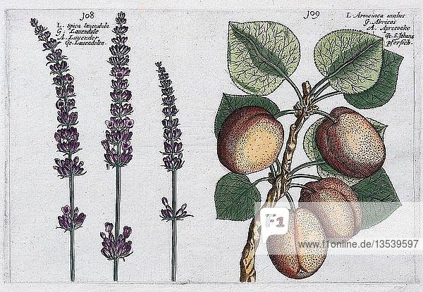 Lavendel (Lavandula) und Aprikose (Prunus armeniaca)  Handkolorierter Kupferstich aus dem Hortus Floridus  Crispyn van de Passé  1614  Deutschland  Europa