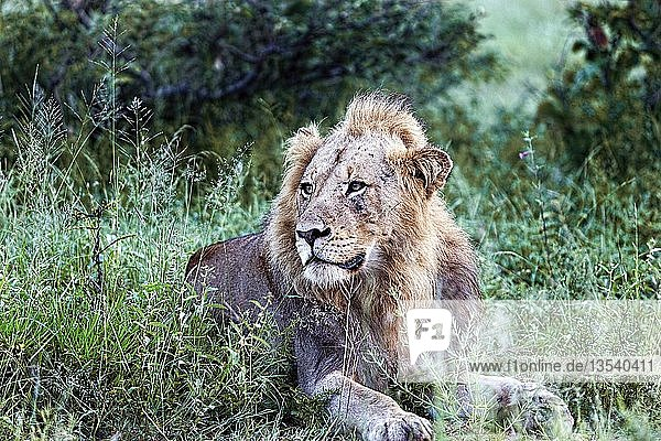 African Lion (Panthera leo)  male  resting  Kruger National Park  South Africa  Africa