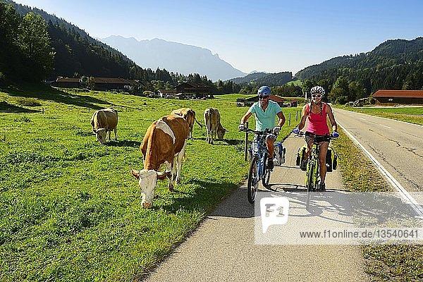 Zwei Radfahrer auf Radweg neben Kühen auf der Weide  Priental-Radweg  bei Sachrang  Chiemgau  Oberbayern  Deutschland  Europa