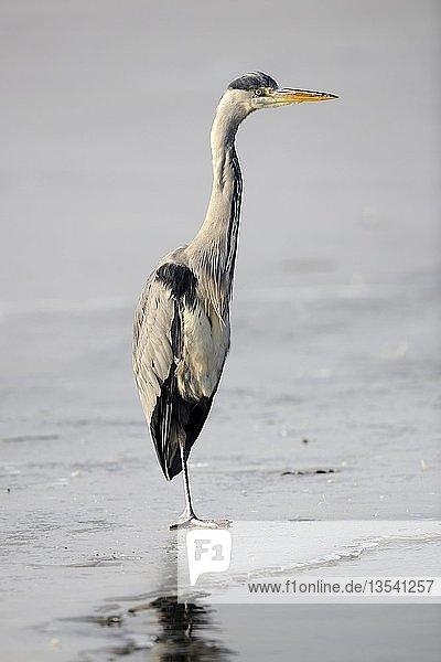Graureiher (Ardea cinerea)  steht im Winter auf zugefrorenem See