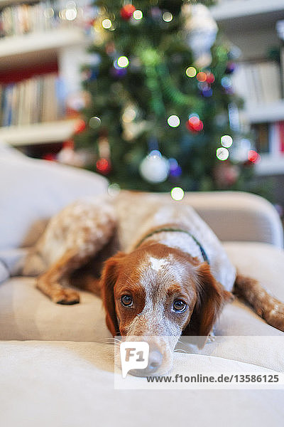 Portrait cute dog on sofa in living room with Christmas tree