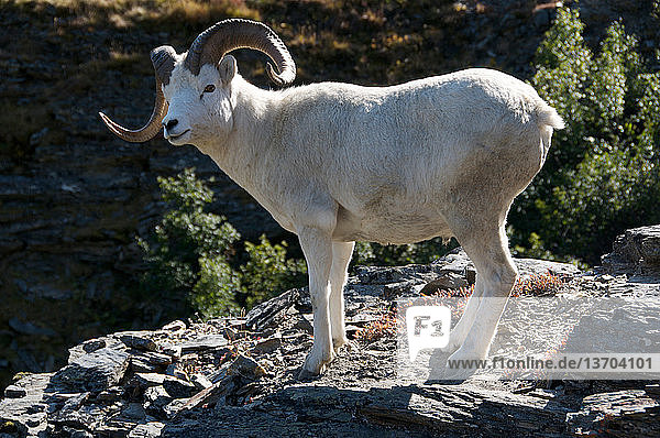 Dall Sheep Ram (Male) (Ovis dalli) is a species of sheep native to northwestern North America. Possesses special hooves for moving over rocks.