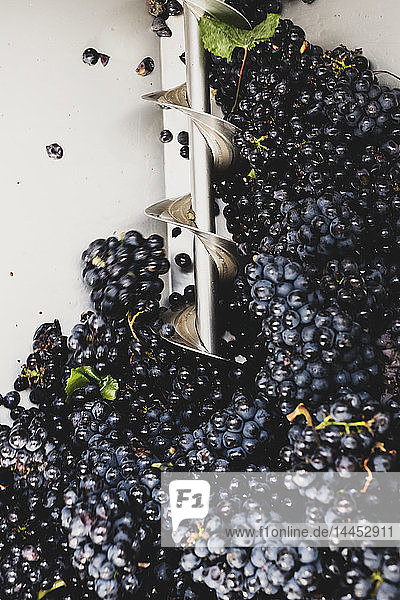 Close up of freshly picked bunches of black grapes at a vineyard. Close up of freshly picked bunches of black grapes at a vineyard.