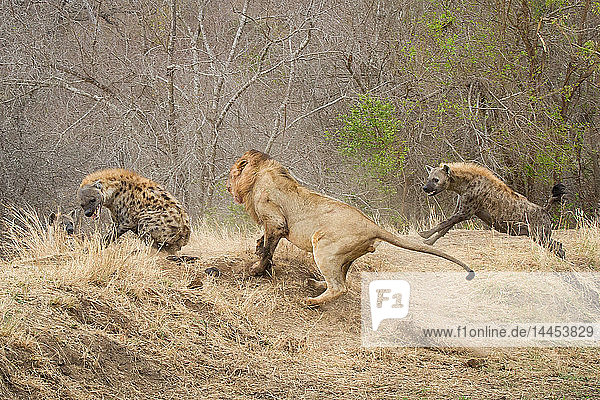Ein männlicher Löwe  Panthera leo  rennt einen Abhang hinauf  hinter einer Tüpfelhyäne  Crocuta crocuta  die sich umdreht und den Löwen anfaucht  eine zweite Hyäne rennt hinter dem Löwen her