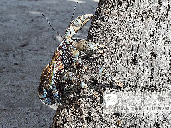 Adult coconut crab (Birgus latro) in the town of Tapana  Niau Atoll  Tuamotus  French Polynesia  South Pacific