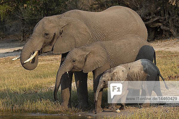 African elephants  Loxodonta africana  drinking  Chobe river  Botswana  Southern Africa