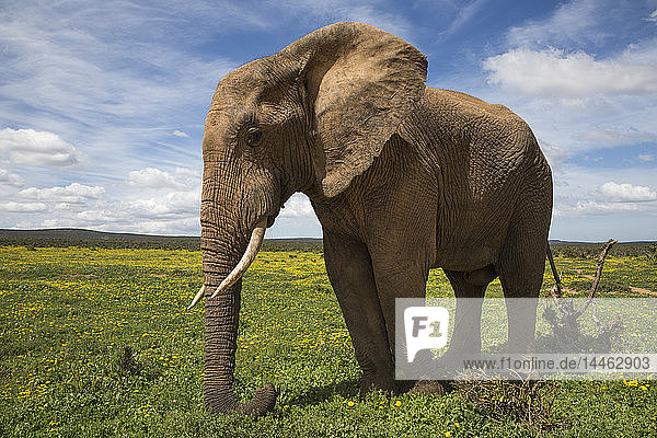 African elephant  Loxodonta africana  in spring flowers  Addo elephant national park  Eastern Cape  South Africa