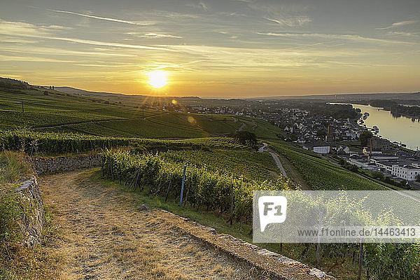 Vineyards at sunrise  Rudesheim  Rhineland-Palatinate  Germany