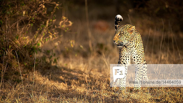 Female leopard hunting in the Masai Mara  Kenya  East Africa  Africa