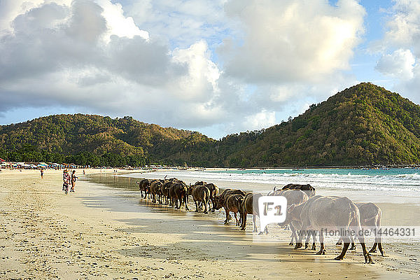 Herd of buffalo crossing Selong Belanak Beach  a daily occurrence as they return from grazing in the fields  Lombok  Indonesia  Southeast Asia