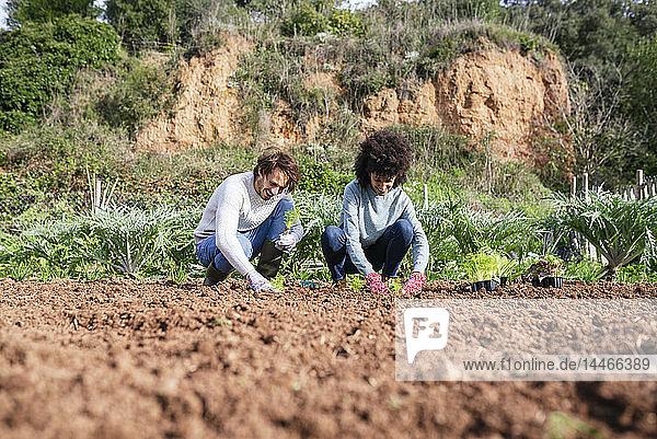 Ehepaar pflanzt Salatsetzlinge im Gemüsegarten