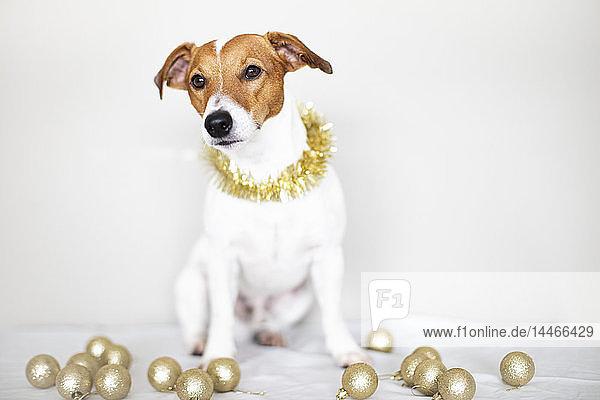 Bildnis eines Hundes mit goldener Girlande
