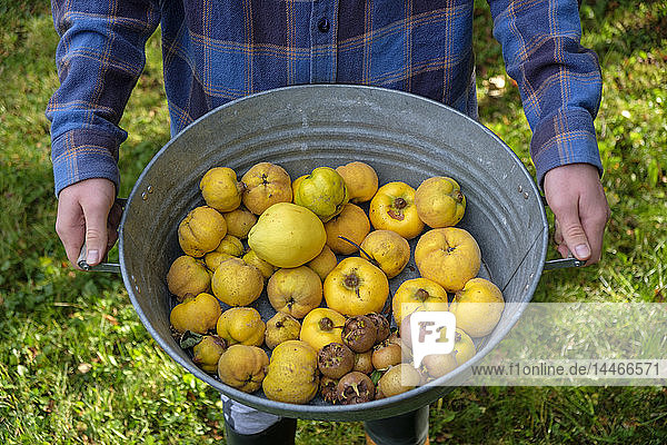 Young man holding zinc tub with harvested quinces and medlars,  partial view