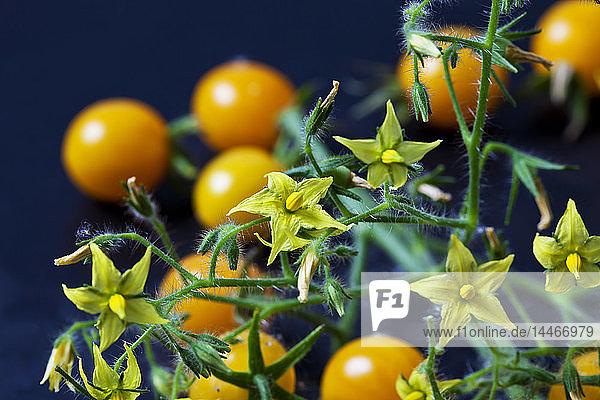 Tomatenblüten 'Blondköpfchen, Tomatenblüten 'Blondköpfchen