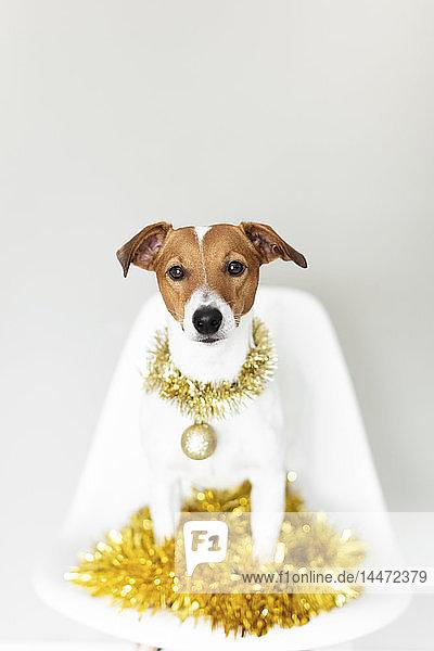 Porträt eines Hundes mit Goldgirlande und Weihnachtskugel auf einem Stuhl sitzend