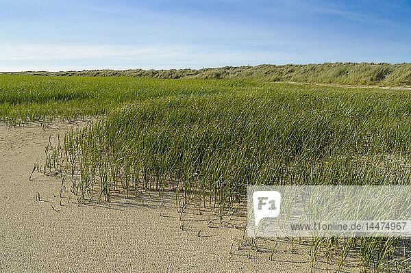 Dänemark  Jütland  Skagen  Grenen  Dünenlandschaft