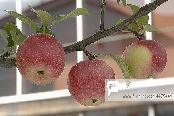 Drei Bio-Äpfel 'Kaiser Wilhelm' am Baum