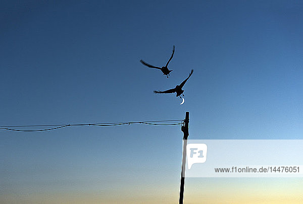 Silhouette von zwei fliegenden Vögeln vor blauem Himmel mit Halbmond