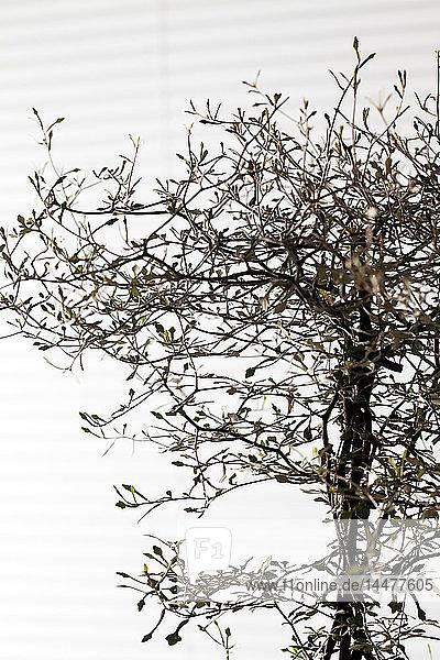 Zweige des Corokia-Kotonasters vor weißem Hintergrund