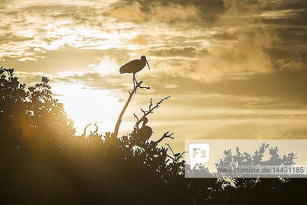 USA  Florida  Florida Keys Tavernier Island  Silhouetten amerikanischer weißer Ibisse auf einem Ast bei Sonnenaufgang