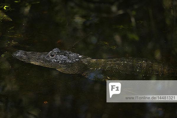 USA  Florida  Copeland  Fakahatchee Strand Preserve State Park  Amerikanischer Alligator in einem Sumpf
