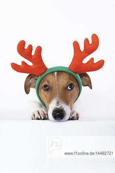 Porträt eines Hundes mit Stirnband aus Rentiergeweih