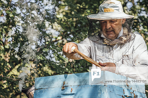 Russland  Beekeeper checking frame with honeybees